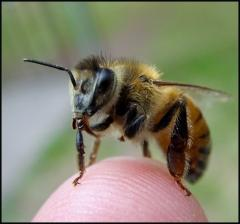 Researchers find high-fructose corn syrup may be tied to worldwide collapse of bee colonies | quantum teleportation | Scoop.it
