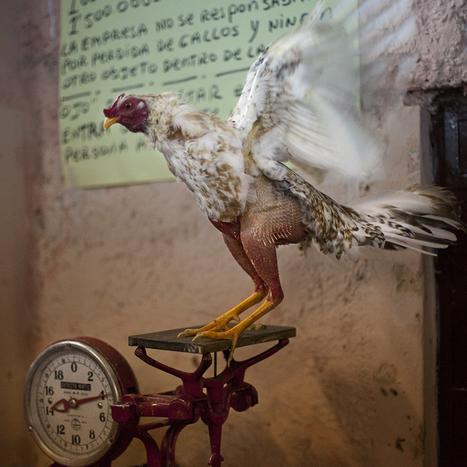 Cockfighting | Photographer : Fernando Decillis | PHOTOGRAPHERS | Scoop.it