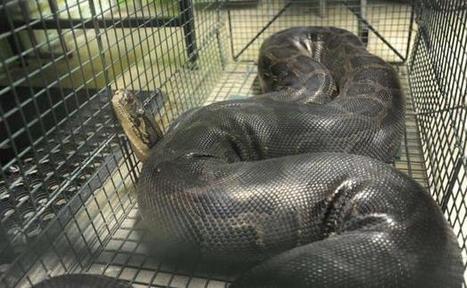 Le super-génome du python, une clé pour prévenir les maladies humaines | Nouvelle technologie | Scoop.it