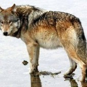 Wyoming wildlife official says wolves unlikely to thrive outside state's northwestern corner | Leading for Nature | Scoop.it