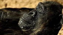 Silvia, la chimpancé de 41 años que redescubre la vida tras ser ... - La Voz de Galicia | publicaciones veterinarias | Scoop.it