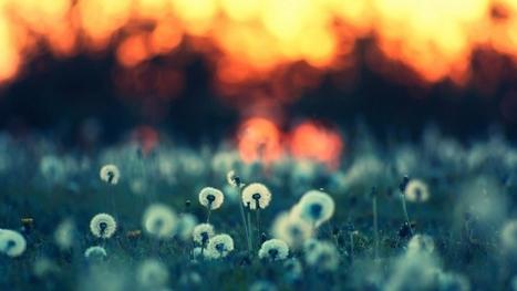 dandelions sunset wallpaper | wallpapers | Scoop.it