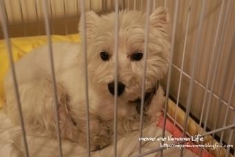 明日の為に!   West Highland White Terrier   Scoop.it
