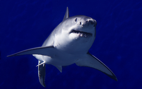 Great White Sharks Thriving Off California Coast, Says Researcher | KPBS.org | All about water, the oceans, environmental issues | Scoop.it