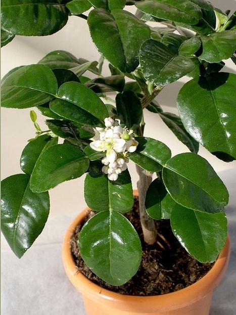 Thai Kaffir Lime Leaves: Essential ingredient in Thai Food | The Royal Budha | Scoop.it