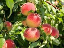 North Carolina Peach Season Off To A Strong Start | PerishableNews | North Carolina Agriculture | Scoop.it