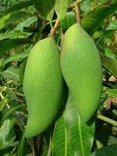 Mangga (Mangifera indica L) | Aneka Resep | Cara Diet Sehat | Tanaman Obat | Scoop.it