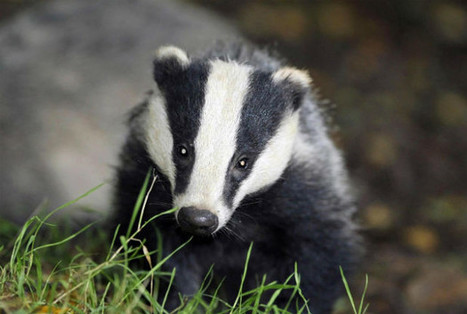 POLL: Thousands poll against badger cull being rolled out to the rest of Britain, after failure in Gloucestershire | wildlife | Scoop.it