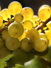 Les vins Coteaux du Layon et le cépage Chenin - Vin Moelleux - Coteaux du Layon et cépage chenin | Miscellanées de parfums niche, petit producteur de champagne, de vins, foie gras, caviar, | Scoop.it
