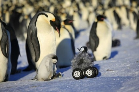 Researchers Use Robo-Chicks To Study Penguins | IFLScience | That's science | Scoop.it