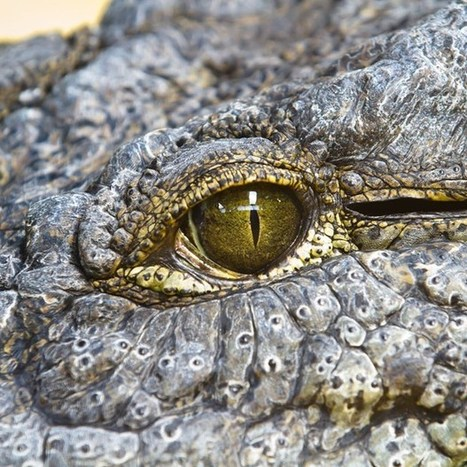 Nowhere left to hide: crocodiles can climb trees (Wired UK) | Natural Fears | Scoop.it