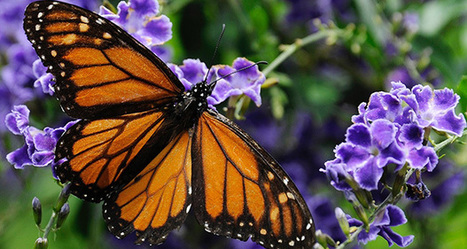Agreement turns I-35 into pollinator haven | Finance & Commerce | GarryRogers Biosphere News | Scoop.it