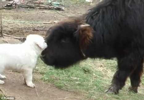 Moment a young bison gets over enthusiastic while playing with a puppy | Nova Scotia Real Estate | Scoop.it