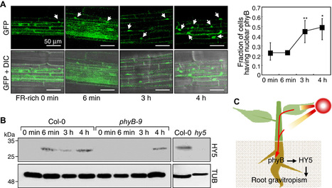 Stem-piped light activates phytochrome B to trigger light responses in Arabidopsis thaliana roots | Microbiome and plant immunity | Scoop.it