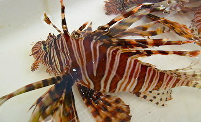 Scourge of the Lionfish, Part 4: From Beautiful Novelty to Marine Invader | All about water, the oceans, environmental issues | Scoop.it