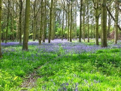 Where to find Bluebells in Epping Forest | Walking | Scoop.it