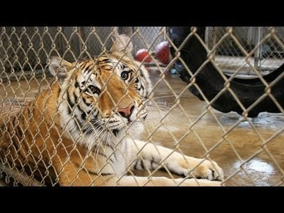 Pet Tigers & Public Safety! | Gold Bars | Scoop.it