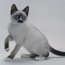 Snowshoe Cat | Cat Breeds Information | Scoop.it