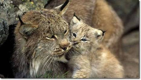 The British Thermopylae – and the Case for Reintroducing Big Cats, a Weird and Wonderful Tale | Sustainable Futures | Scoop.it