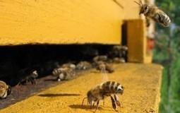 Epilobee, les abeilles meurent dans toute l'Europe | EntomoNews | Scoop.it
