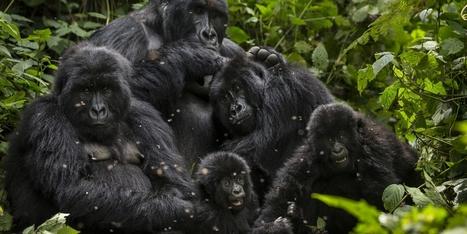 Gorilles en danger - Paris Match   Ces animaux sauvages ou domestiques maltraités par l'homme   Scoop.it