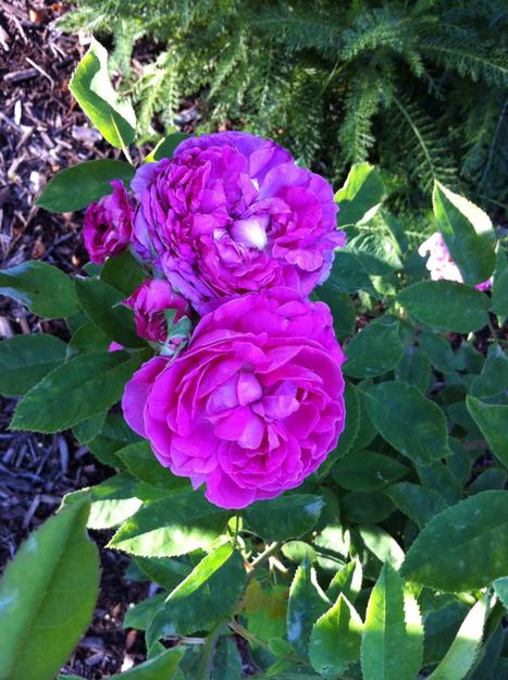 National Rose Month | Cottage Gardening | Scoop.it
