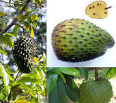 Soursop Fruit  Kills Cancer 100-Fold better Than Chemotherapy | Nutrimedia | Scoop.it