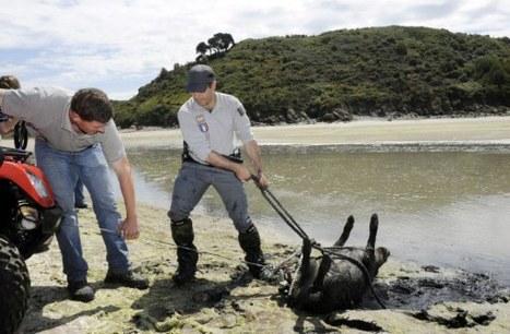 Sangliers morts: la thèse du gaz se confirme   chasse   Scoop.it