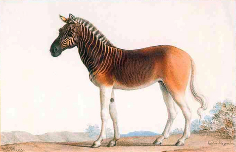 Quagga were extinct for 100 years. Now they're back - CNN.com | Biology resources for South African teachers | Scoop.it