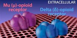 Eluxadoline* (Mu Opioid Receptor Agonist and Delta Opioid Receptor Antagonist)   Chemistry   Scoop.it