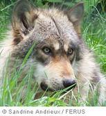 le loup – Tout savoir sur le loup – momes.net | pour enfant | Scoop.it