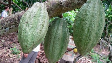 New project to help cocoa farmers tackle climate change | CGIAR Climate in the News | Scoop.it