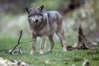 Une louve est abattue, la chasse aux loups est suspendue   chasse   Scoop.it