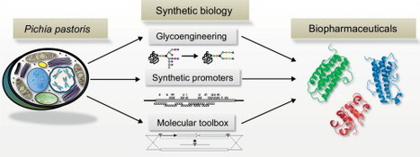 New opportunities by synthetic biology for biopharmaceutical production in Pichia pastoris   SynBioFromLeukipposInstitute   Scoop.it