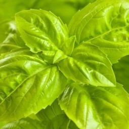 Basil Plant Care Tips | Healing Foods Cookbooks | Healing Foods | Scoop.it