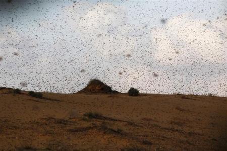 Le sud d'Israël touché par une invasion de sauterelles | EntomoNews | Scoop.it