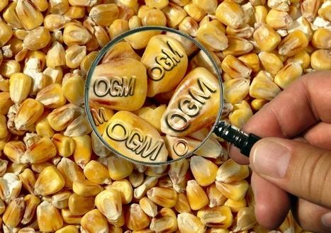 Le parlement bruxellois interdit la culture d'OGM en plein air en ... - lavenir.net   L'actu du droit de l'environnement !   Scoop.it