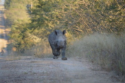 Orphaned Baby Rhino Scared to Sleep Alone After Mother Killed by Poachers [Video] | TheBlogIsMine | Scoop.it