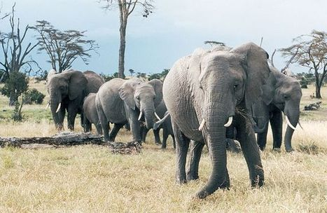 Elephants Recognize the Voices of Their Enemies | Sustain Our Earth | Scoop.it