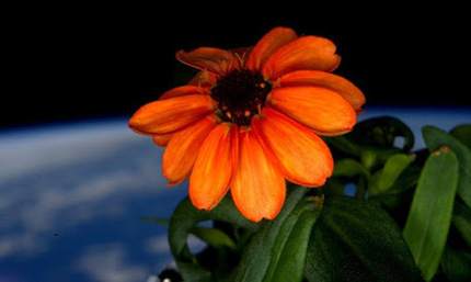 FIRST FLOWER IN SPACE HERALDS GIANT LEAP FOR ZERO-GRAVITY GARDENING… | Daily jankari | Scoop.it