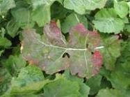 Reducing aphid and virus risk in 2015   Beet western yellows virus   Scoop.it