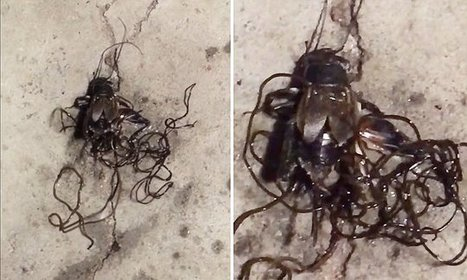 Disgusting video shows parasitic worms escape crushed cricket   Miscellaneous Topics   Scoop.it