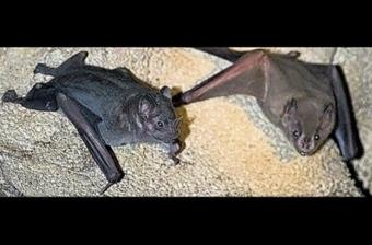 Bats good for pest control - Jamaica Observer   pest control   Scoop.it
