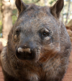 An Invasive Plant Is Killing Wombats in Australia | Extinction Countdown, Scientific American Blog Network | this curious life | Scoop.it