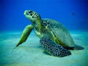 Green turtle smuggling continues | The Jakarta Post | Smugglers | Scoop.it