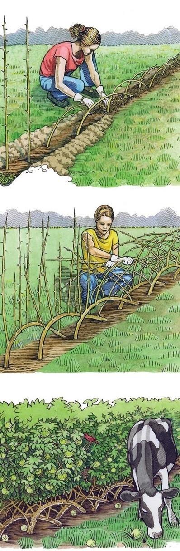 Building a Living Fence | Backyard Gardening | Scoop.it
