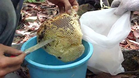 Is this honey Malaysia's healing secret? | Fox News | Erba Volant - Applied Plant Science | Scoop.it