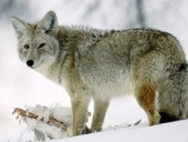 Coyotes Can Prey On Small Pets - Patch.com   aspect 3: problems if management didn't exist   Scoop.it