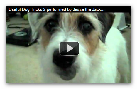 Jack Russell Terrier - Useful Dog Tricks 2 performed by Jesse the Jack Russell Terrier | Favorite think's | Scoop.it