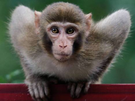 Monkey uses its mind to control another primate, in tests scientists hope could help paralysed people | Neuroscience in the news | Scoop.it